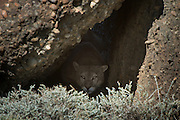 Puma (Felis concolor patagonica) male in cave<br /> Torres del Paine National Park<br /> Patagonia<br /> Magellanic region of Southern Chile