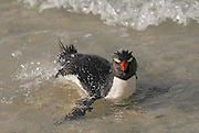 Rockhopper swiming in the sea near the shore and shaking its tail in the air.