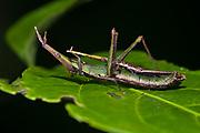 Pair of the wingless pyrgomorph grasshopper Omura congrua mating in the rainforest of La Selva, Ecuador.