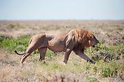 Male lion walking in open scrubland, Etosha national park