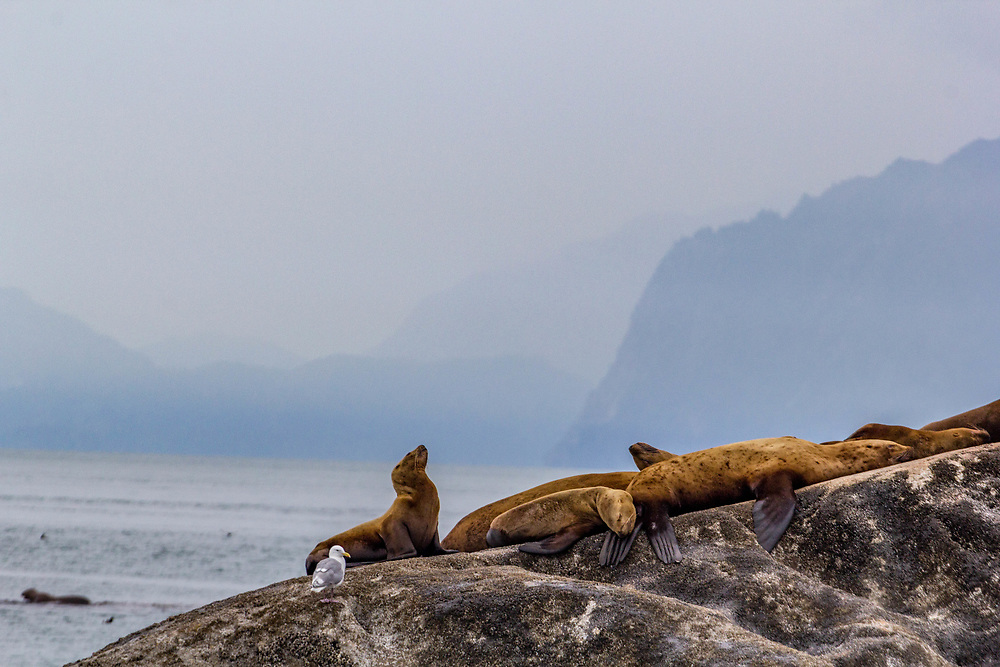 Sea lions in the marble Island rookery make use of the time out of the water getting some sleep.