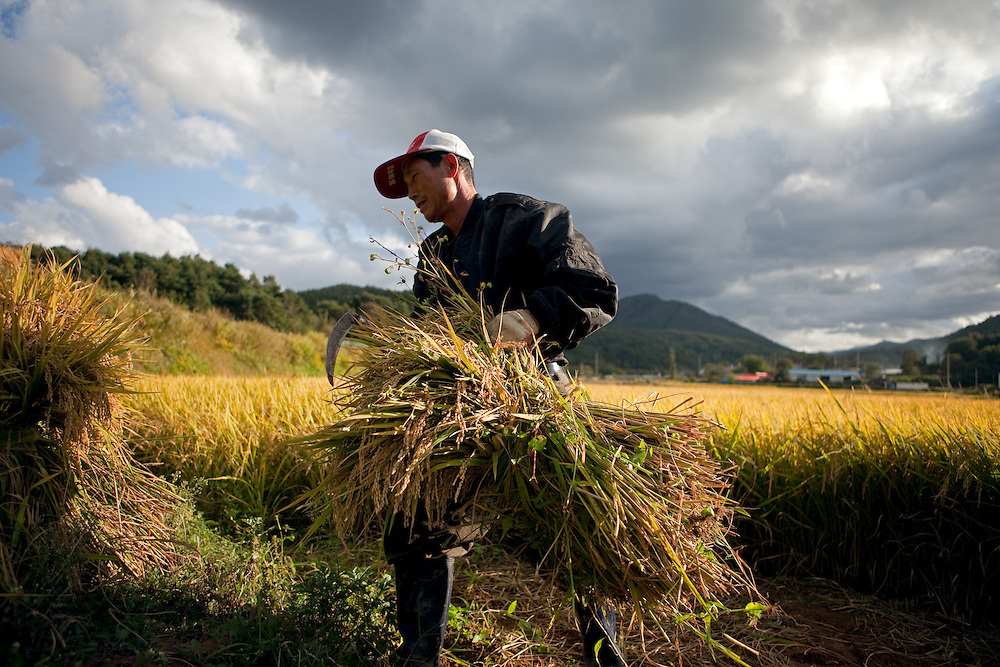 Man standing in front of a rice field and working on the harvest at the Gangwon-do province a few kilometers from the Demilitarised Zone (DMZ) which is deviding North and South Korea. / Goseong-Gun, South Korea, Republic of Korea, KOR, 08 October 2009.