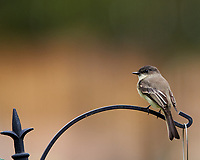 Eastern Phoebe. Image taken with a Nikon D850 camera and 400 mm f/2.8 lens.
