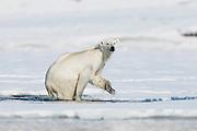 A polar bear (Ursus maritimus) climbing out of icy water, Spitsbergen, Svalbard, Norway