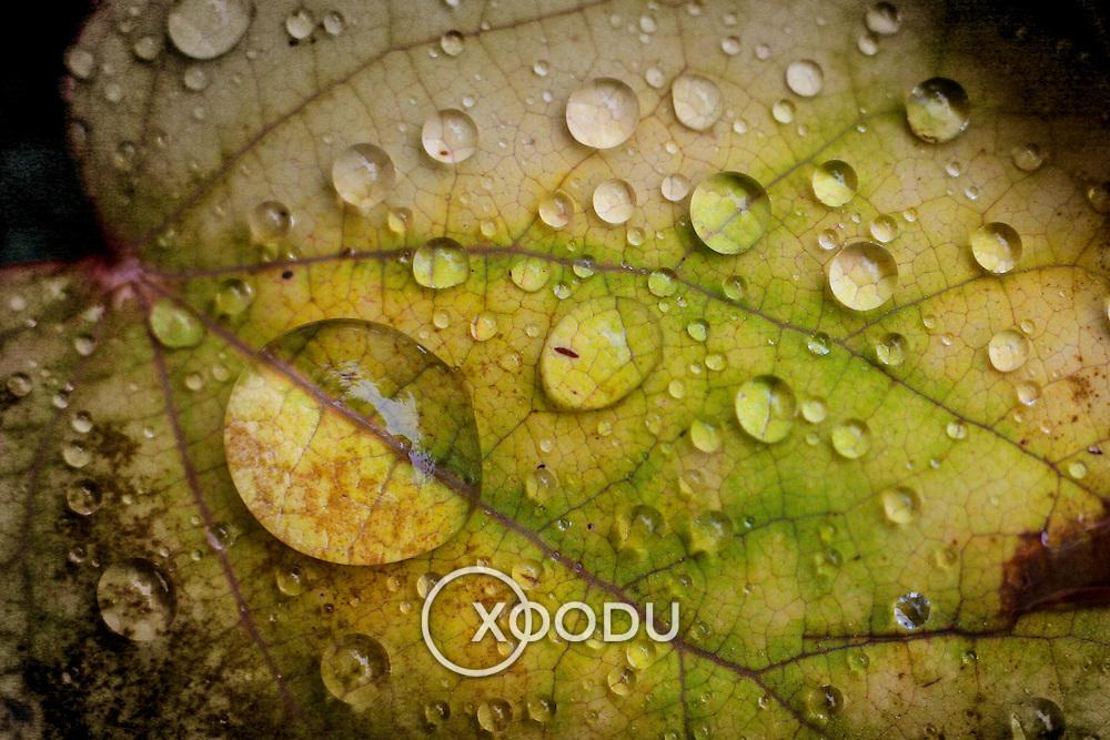 Water droplets on leaf (macro), Hawkshead, England (October 2006)