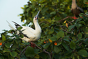 Red-footed Booby (Sula sula) White & Brown morph<br /> in Ziricote trees (Cordia dodecandra)<br /> Halfmoon Caye colony<br /> Lighthouse Reef Atoll<br /> Belize<br /> Central America