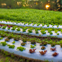 Sunrise over a field of lettuce at Heron Pond Farm in South Hampton, New Hampshire. HDR