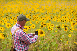 © Licensed to London News Pictures. 08/08/2020. CHORLEYWOOD, UK. A visitor takes a photo of the sunflowers growing in a wheat field near Chorleywood, Hertfordshire on a hot day where the temperature is expected to peak at 34C.  The forecast is for temperatures to continue to exceed 30C for the next few days.  Photo credit: Stephen Chung/LNP