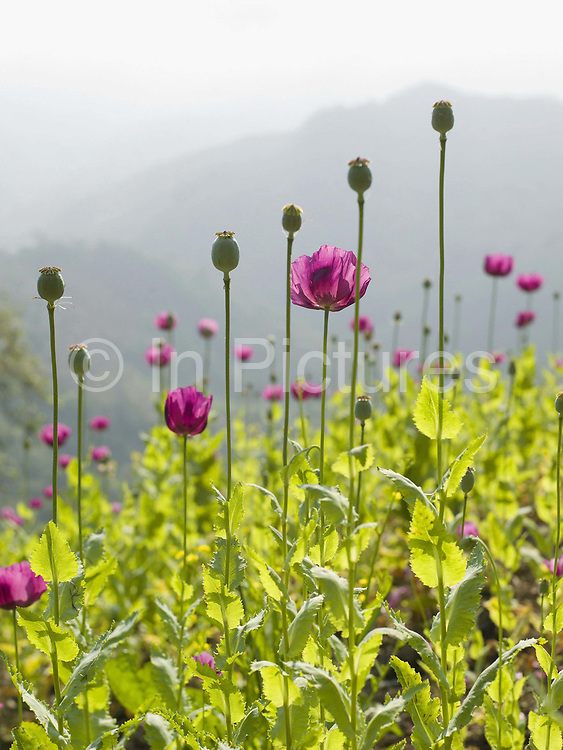 An upland field of opium poppies ready for harvesting in remote Phongsaly Province, Lao PDR. As recently as 1998, Lao PDR was the third largest illicit opium poppy producer in the world.  From 1998 to 2005, opium poppy cultivation in Lao PDR was reduced by 93 per cent.  In more remote areas where cash crops are not viable, surveys from UNODC have shown that between 2008 and 2011 the area under opium poppy cultivation has doubled and continues to rise.