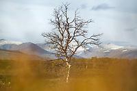 Autumn birch tree in mountain landscape, Lapland, Sweden