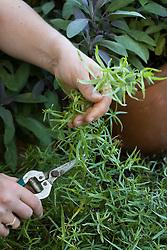 Picking tarragon