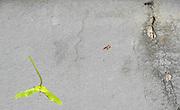 Berlin-Grünau. GERMANY.  Sycamore Seed laying on the side walk/Pavement. Frühregatta Saturday 30/04/2011 [Mandatory Credit; Peter Spurrier/Intersport-images]