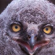Snowy Owl, (Nyctea scandiaca) Close up portrait of downy chick. Barrow, Alaska.