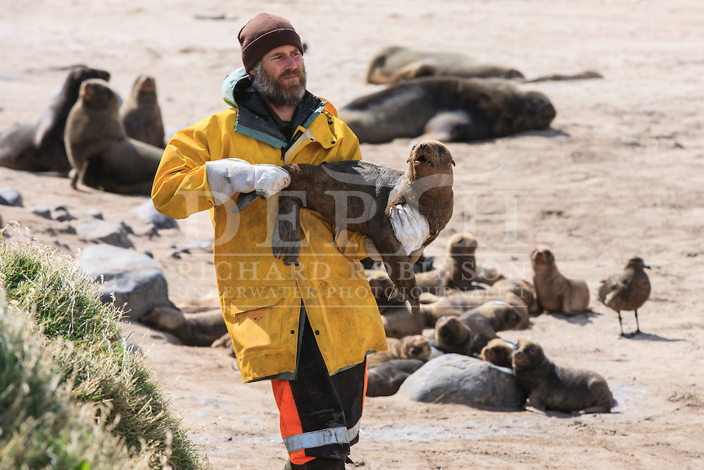 Wildlife Biologist Chris Muller retrieves a Phocarctos hookeri (New Zealand Sea Lion) pup to be tagged and microchipped at the Sandy Bay colony, Enderby Island, Auckland Islands, New Zealand. Tagging enables scientists to keep a track of movements and estimate population numbers.<br /> 14 January 2016. <br /> Photograph Richard Robinson © 2016
