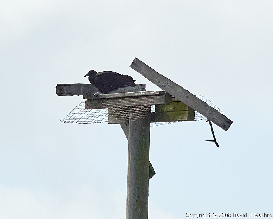 Black Vulture (Coragyps atratus). Black Point Wildlife Drive, Merritt Island Wildlife Refuge. Merritt Island, Brevard County, Florida. Image taken with a Nikon D3 camera and 80-400 mm VR lens.