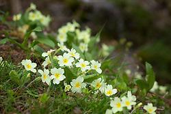 Primula vulgaris growing on a grassy bank. Primrose