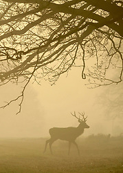 © Licensed to London News Pictures. 15/03/2012. Richmond, UK. A stag walks through the golden fog. Foggy conditions at Richmond Park this morning, 15 march 2012. The weather is expected to be good across large parts of the UK for the day.  Photo credit : Stephen SImpson/LNP