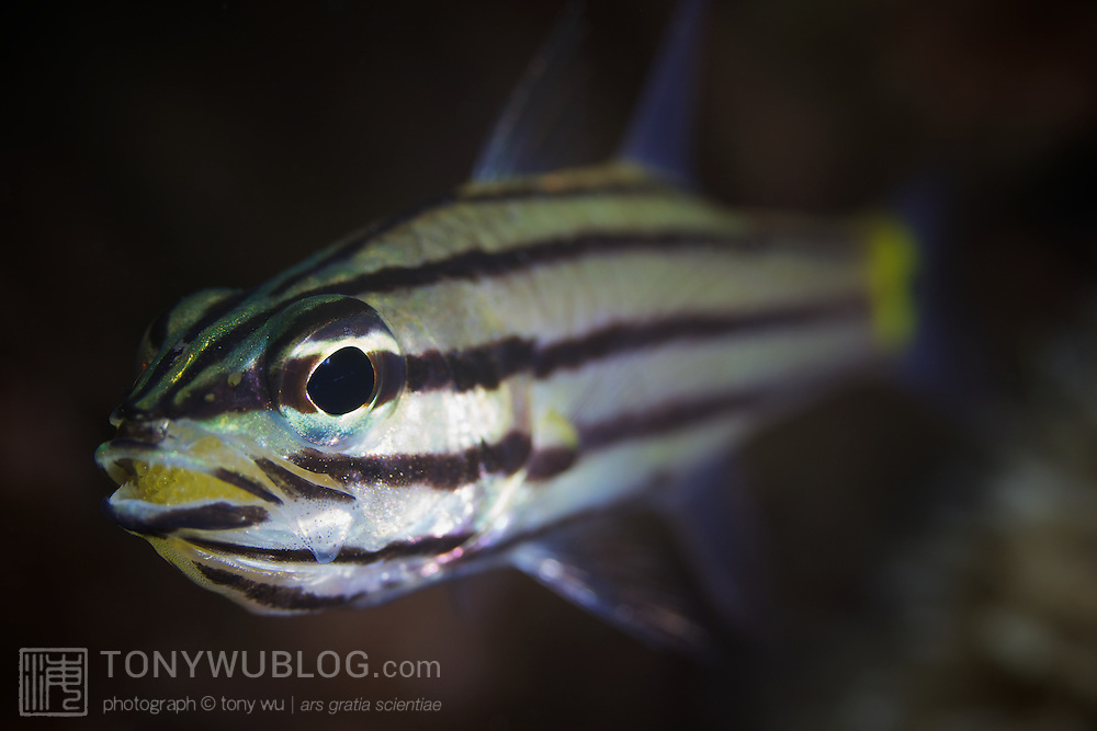 Five-lined cardinalfish (Cheilodipterus quinquelineatus) with mouthful of yellow eggs