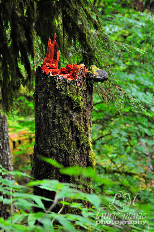 This moss covered tree stump with a mushroom growth had a shockingly red center