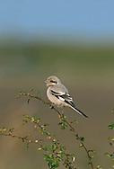 Steppe Grey Shrike - Lanius meridionalis pallidirostris