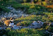 Semipalmated plover (Charadrius semipalmatus) with eggs on tundra<br />Churchill<br />Manitoba<br />Canada