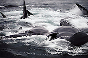 (1992) Darting Right Whales, 40 miles south of Cape Sable Island. A bow and arrow are used to ?dart??take skin samples?from right whales for population management study through DNA analysis. Some blubber samples are taken with hollow-tipped arrows. Nova Scotia, Canada. DNA Fingerprinting.