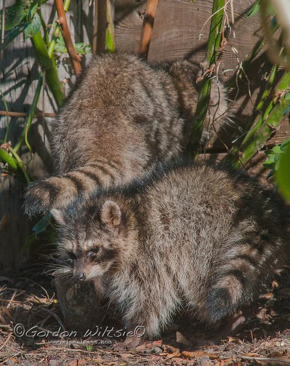 California Raccoons (Procyon lotor) scavenge in a back yard in El Granada, California.