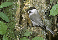 Marsh Tit Parus palustris L 12-13cm. Pugnacious woodland bird. Similar to Willow Tit but separable using subtle differences in plumage and voice. Sexes are similar. Adult and juvenile have black cap and bib; compared to Willow, cap is glossy, not dull, and bib is relatively small. Cheeks are whitish, upperparts are grey brown and underparts are pale grey-buff. Bill is short and legs are bluish. Voice Utters a loud pitchoo call. Song is loud and repeated chip-chip-chip… Status Locally common resident of deciduous woodland and mature gardens; commonest in S.
