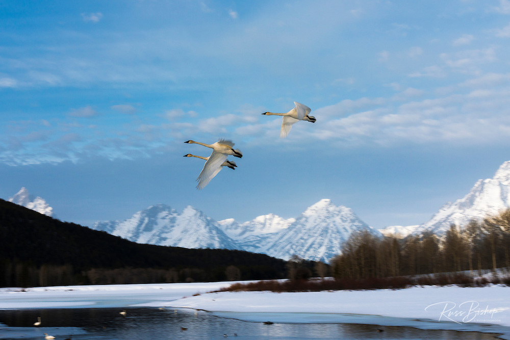 Trumpeter swans in flight over Oxbow Bend, Grand Teton National Park, Wyoming USA