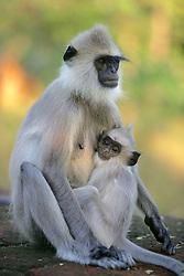Hanuman Langurs, Infant Sucking On Breast
