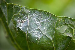 Whitefly on sprout foliage
