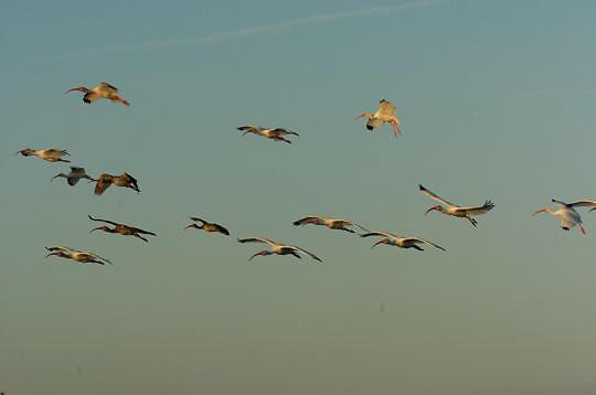 White Ibis (Eudocimus albus) Breeding plumage. In flight. Near Boca Grande, Florida.