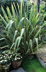 Phormium tenax in a small town garden