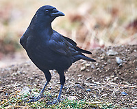 Black Crow. Image taken with a Nikon D5 camera and 600 mm f/4 VR lens (ISO 450, 600 mm, f/4, 1/640 sec).