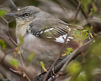 Northern Mockingbird. Image taken with a Nikon D2xs camera and 80-400 mm VR telephoto zoom lens.