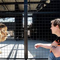 Spanje, Alicante,22 mei 2015.<br /> Stichting AAP die zich inzet voor opvang en welzijn van verwaarloosde dieren waaronder diverse apensoorten haalt nu verwaarloosde 2 tijgers en 2 leeuwen op bij een failliete circus in het plaatsje Lieusaint in de buurt van Parijs om ze vervolgens een betere toekomst te geven in opvangcentrum Primadomus in de buurt van Alicante Spanje.<br /> Op de foto: De 2 tijgers en leeuwen arriveren met de truck vanuit Frankrijk bij opvangcentrum Primadomus in de omgeving van Alicante. De kisten worden van de truck gehaald en de dieren worden geinstalleerd in hun nieuwe onderkomen. Eerst zullen ze enkele weken moeten rusten en wennen in een eerste kooi alvorens ze op een ruimer afgeschermd terrein mogen rondlopen.<br /> Oprichter David van Gennep maakt contact met de zojuist gearriveerde leeuw Reza.<br /> <br /> <br /> <br /> <br /> Foto: Jean-Pierre Jans