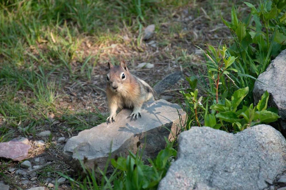 Golden-mantled Ground Squirrel (Callospermophilus lateralis), Glacier National Park, Montana, US