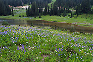 Lupines and wildflowers next to Tipsoo Lake in Mount Rainier National Park in Washington State, USA.