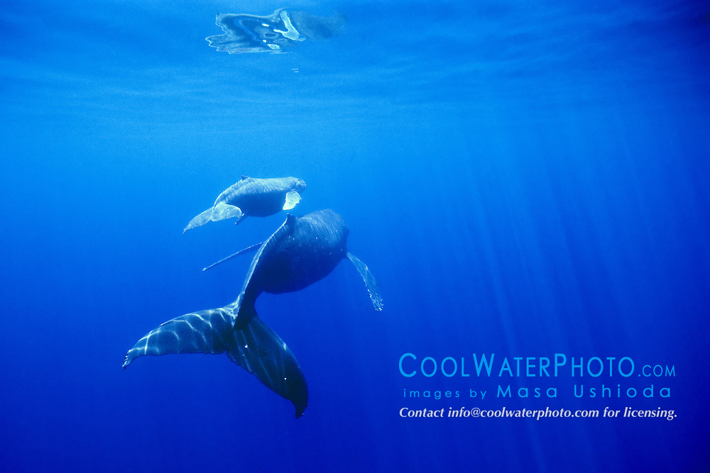 humpback whale, Megaptera novaeangliae, mother and calf, Hawaii, USA, Pacific Ocean