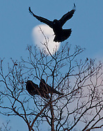 Middletown, New York - Crows gather in trees at sunset on Dec. 31, 2014.