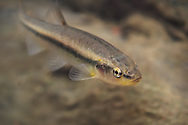 Creek Chub<br />
