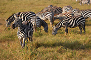 Herd of Zebras in the Ngorongoro Crater, Tanzania