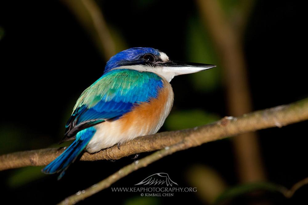 Forest Kingfisher, Daintree, Australia