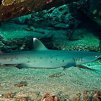 White-tip Reef Shark, Profile, Triaenodon obesus, (Rüppell, 1837), mano lalakea, Mala Pier, Maui, Hawaii