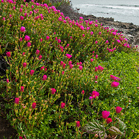 Sea Figs  (Carpobrotus chilensis) bloom along the Pacific Ocean at Bean Hollow State Beach near Pescadero, California. Like closely-related Iceplant, this invasive species has taken over the biomass of many parts of the California coast.