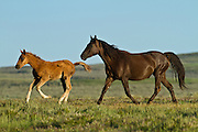 Wild mustang mare and foal in the Red Desert of Wyoming