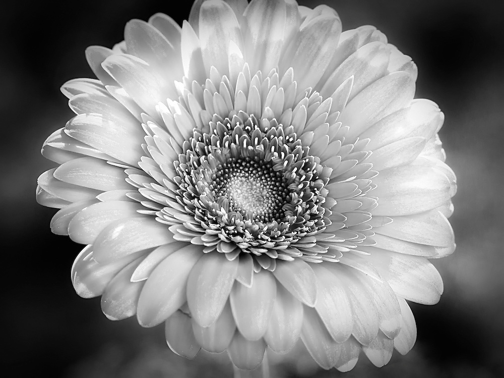 Who doesn't love to photograph and process beautiful flowers? Hope you enjoy my version of of a Gerbera Daisy in black and white.