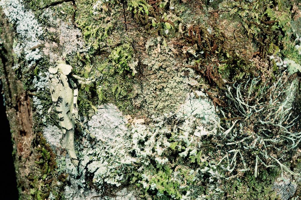 Tettigoniidae<br />Cloud forest.  Manu National Park<br />PERU.  South America