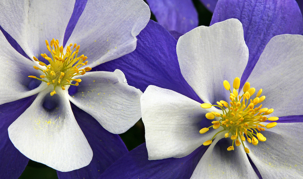 Close-up photo of the Colorado state flower.