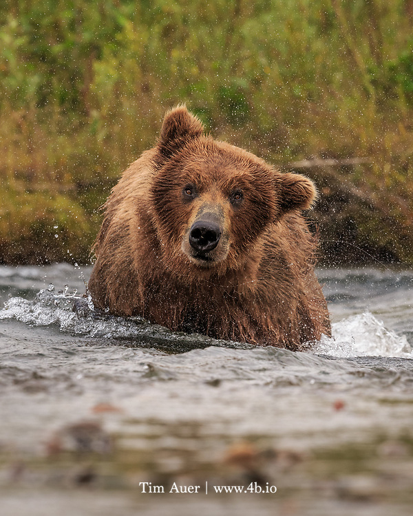 A brown bear, fishing for salmon in Margot Creek, comes up empty from a dive and gives her head a shake.